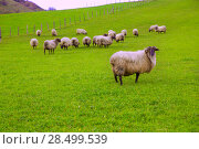 Купить «Latxa sheep in Pyrenees of Navarra grazing in meadow at Spain», фото № 28499539, снято 3 ноября 2013 г. (c) Ingram Publishing / Фотобанк Лори