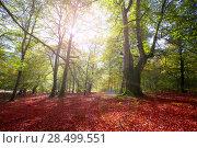 Купить «Autumn Selva de Irati fall beech jungle in Navarra Pyrenees of Spain», фото № 28499551, снято 3 ноября 2013 г. (c) Ingram Publishing / Фотобанк Лори