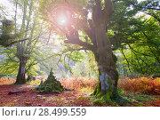 Купить «Autumn Selva de Irati fall beech jungle in Navarra Pyrenees of Spain», фото № 28499559, снято 3 ноября 2013 г. (c) Ingram Publishing / Фотобанк Лори