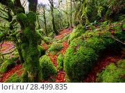 Купить «Autumn Selva de Irati fall beech jungle in Navarra Pyrenees of Spain», фото № 28499835, снято 3 ноября 2013 г. (c) Ingram Publishing / Фотобанк Лори