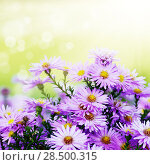 Купить «Violet asters flowers over background», фото № 28500315, снято 7 октября 2012 г. (c) Ingram Publishing / Фотобанк Лори