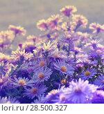 Купить «Violet asters flowers over background», фото № 28500327, снято 7 октября 2012 г. (c) Ingram Publishing / Фотобанк Лори