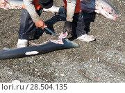 Купить «Shark fishermen, cutting the fins from sharks, Magdalena Bay, Baja California, Mexico.», фото № 28504135, снято 27 марта 2019 г. (c) Nature Picture Library / Фотобанк Лори
