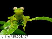 Купить «Las gralarias glass frog (Nymphargus lasgralarias) on leaf, Mindo, Pichincha, Ecuador.», фото № 28504167, снято 21 августа 2018 г. (c) Nature Picture Library / Фотобанк Лори
