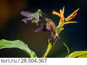 Купить «Buff-tailed coronet (Boissonneaua flavescens) and female Rufous booted racket tail (Ocreatus underwoodii addae) fighting in flight, Mashpi, Pichincha, Ecuador.», фото № 28504367, снято 20 июня 2018 г. (c) Nature Picture Library / Фотобанк Лори