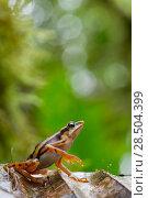Купить «Longnose harlequin frog (Atelopus sp) on leaf, Chinambi, Carchi, Ecuador.», фото № 28504399, снято 21 августа 2018 г. (c) Nature Picture Library / Фотобанк Лори