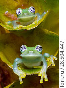 Купить «Two Limon glass frogs (Sachatamia ilex) sitting on plant, one above the other, Canande, Esmeraldas.», фото № 28504447, снято 15 августа 2018 г. (c) Nature Picture Library / Фотобанк Лори