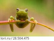 Купить «Ashy tree frog (Hypsiboas cinerascens) on leaf, Yasuni National Park, Orellana, Ecuador.», фото № 28504475, снято 18 октября 2019 г. (c) Nature Picture Library / Фотобанк Лори