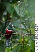 Купить «Male Collared trogon (Trogon collaris) perched on twig, Sumaco National Park, Napo, Ecuador.», фото № 28504587, снято 18 октября 2019 г. (c) Nature Picture Library / Фотобанк Лори