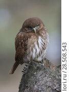 Купить «Ferruginous Pygmy Owl / Brasil Pygmy Owl ( Glaucidium brasilianum ), perched on a rotten tree stump, looks forceful but cute, funny little owl..», фото № 28508543, снято 8 октября 2016 г. (c) age Fotostock / Фотобанк Лори