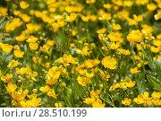 Купить «Flowering meadow with Ranunculus acris», фото № 28510199, снято 27 мая 2018 г. (c) Юлия Кузнецова / Фотобанк Лори