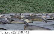 Купить «Young Elephant seals fight», видеоролик № 28510443, снято 16 января 2018 г. (c) Vladimir / Фотобанк Лори