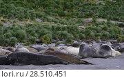 Купить «Young Elephant seals fight», видеоролик № 28510451, снято 17 января 2018 г. (c) Vladimir / Фотобанк Лори