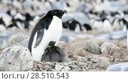 Купить «Adelie Penguin with chicks», видеоролик № 28510543, снято 25 января 2018 г. (c) Vladimir / Фотобанк Лори