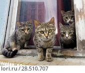 Купить «Группа серых котов на сидят подоконнике и смотрят в камеру», фото № 28510707, снято 2 июня 2018 г. (c) Вячеслав Палес / Фотобанк Лори