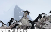 Купить «Chinstrap Penguins on the nest», видеоролик № 28512875, снято 18 января 2018 г. (c) Vladimir / Фотобанк Лори