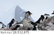 Chinstrap Penguins on the nest. Стоковое видео, видеограф Vladimir / Фотобанк Лори