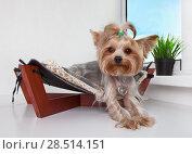 Купить «Yorkshire Terrier lying in the bed of the hammock by the window», фото № 28514151, снято 4 июня 2018 г. (c) Элина Гаревская / Фотобанк Лори