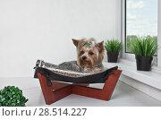 Купить «Yorkshire Terrier lying in the bed of the hammock by the window», фото № 28514227, снято 4 июня 2018 г. (c) Элина Гаревская / Фотобанк Лори