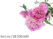 Купить «bouquet of blooming peonies», фото № 28530643, снято 5 июня 2018 г. (c) Peredniankina / Фотобанк Лори