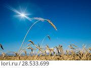 Купить «Wheat ears under the blue sky», фото № 28533699, снято 20 августа 2016 г. (c) Куликов Константин / Фотобанк Лори