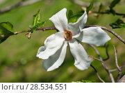 Купить «White magnolia  flower at green», фото № 28534551, снято 27 апреля 2018 г. (c) Короленко Елена / Фотобанк Лори