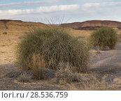 Bushes in desert, Makhtesh Ramon, Negev Desert, Israel. Стоковое фото, фотограф Keith Levit / Ingram Publishing / Фотобанк Лори