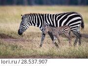 Купить «Common or Plains zebra (Equus quagga burchellii)  female and foal Masai Mara National Reserve, Kenya.», фото № 28537907, снято 4 августа 2020 г. (c) Nature Picture Library / Фотобанк Лори