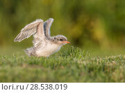 Купить «Arctic tern (Sterna paradisaea) chick testing its wings, Machias Seal Island, Bay of Fundy, New Brunswick, Canada, July.», фото № 28538019, снято 20 августа 2018 г. (c) Nature Picture Library / Фотобанк Лори