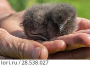 Купить «Leach's storm petrel (Oceanodroma leucorhoa) chick on a researcher's hand, Machias Seal Island, Bay of Fundy, New Brunswick, Canada, July, Vulnerable species.», фото № 28538027, снято 15 августа 2018 г. (c) Nature Picture Library / Фотобанк Лори