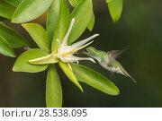 Mangrove hummingbird (Amazilia boucardi) female in flight feeding on Tea mangrove (Pelliciera rhizophorae) flower, Nicoya Peninsula, Costa Rica, Endangered species. Стоковое фото, фотограф Nick Hawkins / Nature Picture Library / Фотобанк Лори