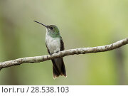 Mangrove hummingbird (Amazilia boucardi) female perched on twig, Pacific coast mangroves area, Costa Rica, Endangered species. Стоковое фото, фотограф Nick Hawkins / Nature Picture Library / Фотобанк Лори