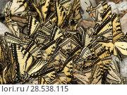 Купить «Eastern tiger swallowtail butterflies (Papilio glaucus) puddling, New Brunswick, Canada, June.», фото № 28538115, снято 19 августа 2018 г. (c) Nature Picture Library / Фотобанк Лори
