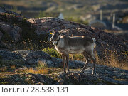 Купить «Woodland caribou (Rangifer tarandus-caribou) with radio collat round neck, Fogo Island, Newfoundland, Canada, October, Endangered species.», фото № 28538131, снято 24 августа 2019 г. (c) Nature Picture Library / Фотобанк Лори