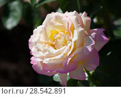 Купить «Big blossomed rose», фото № 28542891, снято 2 августа 2012 г. (c) Юрий Бизгаймер / Фотобанк Лори