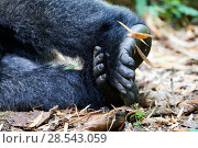 Купить «Moutain gorilla (Gorilla beringei beringei) feet, Virunga National Park, North Kivu, Democratic Republic of Congo, Africa, Critically endangered.», фото № 28543059, снято 19 августа 2019 г. (c) Nature Picture Library / Фотобанк Лори