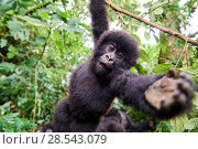 Купить «Mountain gorilla (Gorilla beringei beringei) juvenile hanging from branch trying to grab the camera, member of the Rugendo group, Virunga National Park...», фото № 28543079, снято 25 марта 2019 г. (c) Nature Picture Library / Фотобанк Лори