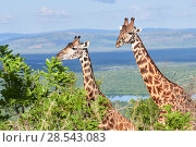Maasai giraffe (Giraffa camelopardalis tippelskirchi) pair, Akagera National Park, Rwanda, Africa. Стоковое фото, фотограф Eric Baccega / Nature Picture Library / Фотобанк Лори