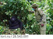 Купить «Mountain gorilla (Gorilla beringei beringei) female with a guard from ICCN (Congolese Institute for the Conservation of Nature) wearing a face mask to...», фото № 28543091, снято 27 июня 2019 г. (c) Nature Picture Library / Фотобанк Лори