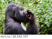 Купить «Mountain gorilla (Gorilla beringei beringei) silverback male known as Humba licking his fingers after eating Driver ants (Dorylus sp.) a socially acquired...», фото № 28543107, снято 27 июня 2019 г. (c) Nature Picture Library / Фотобанк Лори