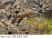 RF- Bengal tiger (Panthera tigris) juvenile 'T60' jumping over waterhole, Ranthambhore, India, Endangered species. (This image may be licensed either as rights managed or royalty free.) Стоковое фото, фотограф Andy Rouse / Nature Picture Library / Фотобанк Лори