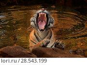 Купить «Bengal tiger (Panthera tigris) female 'Noor' in waterhole yawning, Ranthambhore, India, Endangered species.», фото № 28543199, снято 22 июля 2018 г. (c) Nature Picture Library / Фотобанк Лори