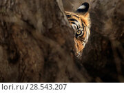 Купить «Bengal tiger (Panthera tigris) female 'Noor' looking out from behind tree, Ranthambhore, India, Endangered species.», фото № 28543207, снято 20 июля 2018 г. (c) Nature Picture Library / Фотобанк Лори