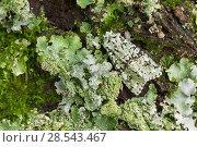 Купить «Merveille-du-Jour moth (Dichonia aprilina), camouflaged on lichen, Monmouthshire, Wales, UK», фото № 28543467, снято 18 июля 2018 г. (c) Nature Picture Library / Фотобанк Лори