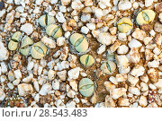 Купить «Endemic Stone plant (Argyroderma delaetii) also known as Bababoudjes (Babies' bottoms), growing among quartz pebbles in the Knersvlakte, Western Cape, South Africa», фото № 28543483, снято 18 сентября 2018 г. (c) Nature Picture Library / Фотобанк Лори