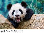 Купить «Giant panda (Ailuropoda melanoleuca) cub yawning. Yuan Meng, first giant panda ever born in France,  age 10 months, Captive at Beauval Zoo, Saint Aignan sur Cher, France», фото № 28547191, снято 22 марта 2019 г. (c) Nature Picture Library / Фотобанк Лори