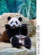 Купить «Giant panda (Ailuropoda melanoleuca) cub playfuly chewing a bamboo stick. Yuan Meng, first giant panda ever born in France, is now 10 months old and still...», фото № 28547199, снято 27 мая 2019 г. (c) Nature Picture Library / Фотобанк Лори