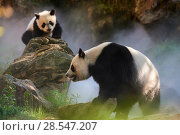 Купить «Giant panda (Ailuropoda melanoleuca) female Huan Huan and her cub out in their enclosure in mist.Yuan Meng, first giant panda ever born in France, age...», фото № 28547207, снято 25 июня 2018 г. (c) Nature Picture Library / Фотобанк Лори