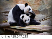 Купить «Giant panda  (Ailuropoda melanoleuca). female Huan Huan playing with her cub Yuan Meng, first giant panda ever born in France, age 10 months, Captive at Beauval Zoo, Saint Aignan sur Cher, France», фото № 28547215, снято 21 октября 2019 г. (c) Nature Picture Library / Фотобанк Лори