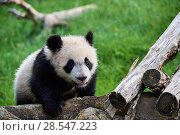 Купить «Giant panda (Ailuropoda melanoleuca) cub exploring during its outings in the enclosure. Yuan Meng, first giant panda ever born in France,  age 10 months...», фото № 28547223, снято 25 июня 2018 г. (c) Nature Picture Library / Фотобанк Лори